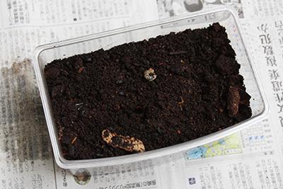カブトムシ孵化_2549.JPG