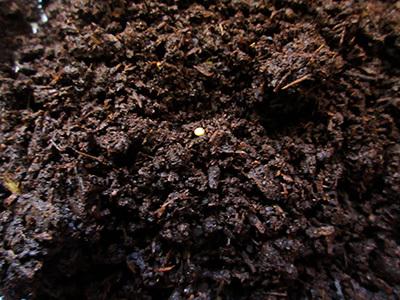 カブトムシ産卵_1872.JPG