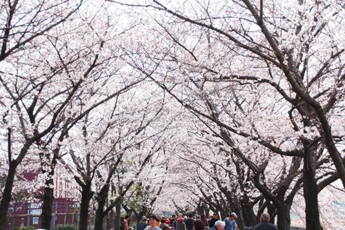 新幹線公園過去花見2885.JPG