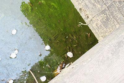 くろんど池_湿地おたまじゃくし4156.JPG
