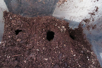 飼育ケースの土の中の蛹室0611_4465.JPG